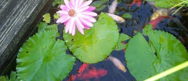 pond-water-plants